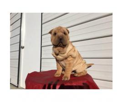 AKC registered Shar pei female puppy for $800