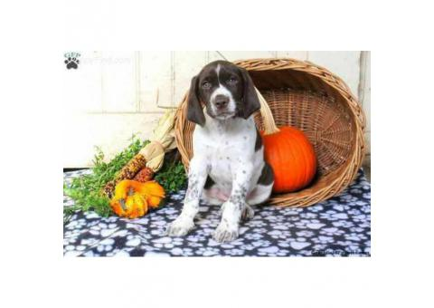 Sweet natured German Shorthaired puppy $750