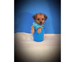 One tiny male Shih Tzu / Chihuahua Shihchi puppy