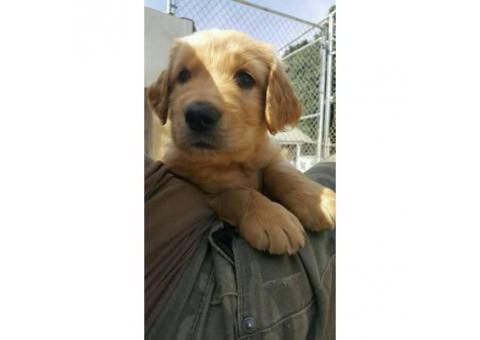 Purebred male golden retriever puppies available $800