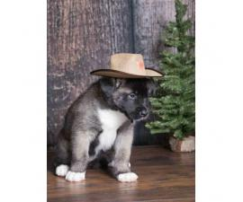Akita Puppies will be redy on at December 18th 2017