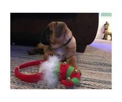 Pug X Cavalier King Charles Spaniel puppy