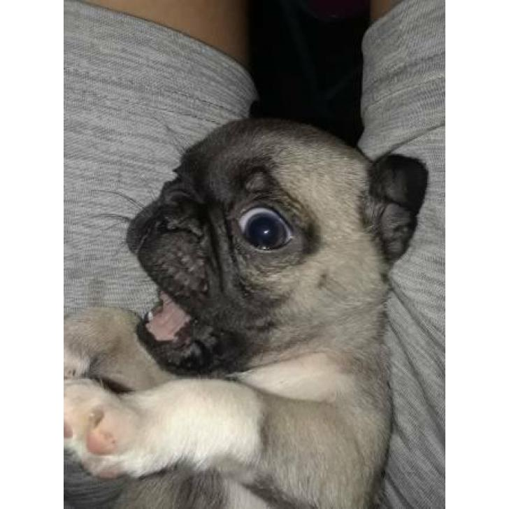 Beautiful amazing mini pugs puppies, 3 males availables in
