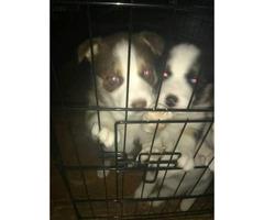 lab/husky mix puppies