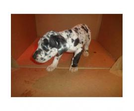 a litter of great dane babies up for adoption