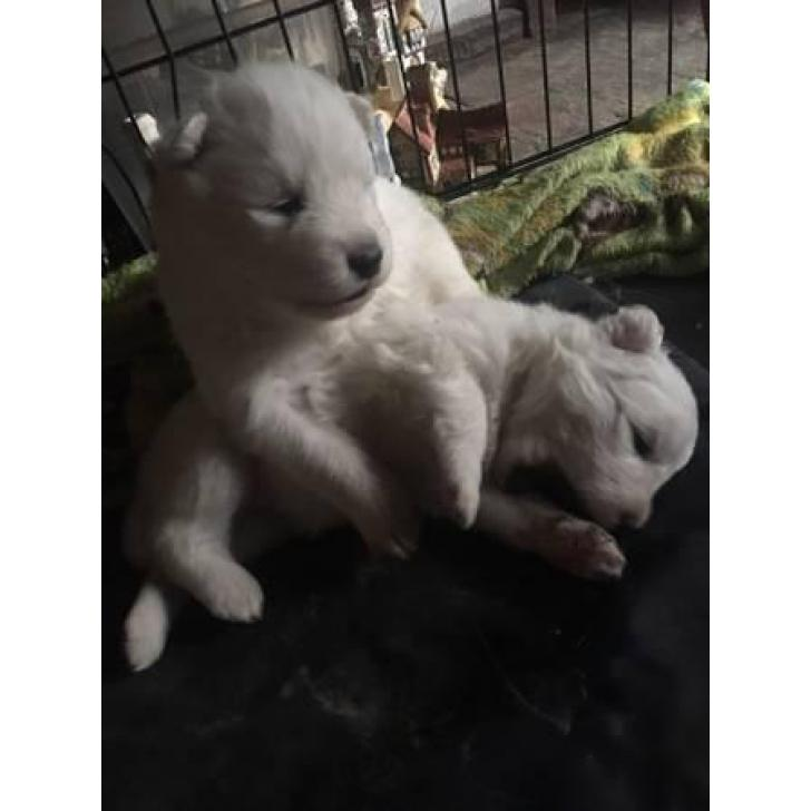 Samoyed Christmas Puppies $1500 in Los Angeles, California ...