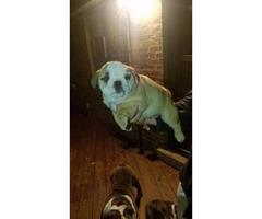 3 males English Bulldog puppies $1900