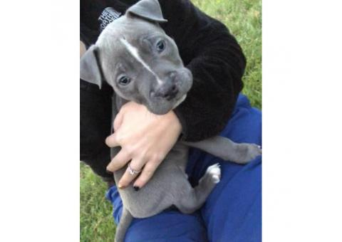 12 week old male blue nose pitbulll $800