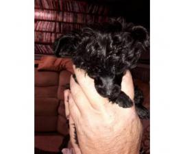7 weeks old poodle yorkie puppies - $800