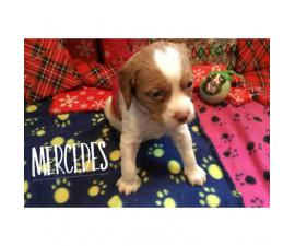 AKC Brittany Puppies  $600 each