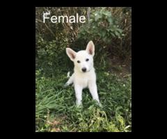 Stunning white German shepherd pups for sale