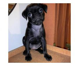 2 month old black pug puppy for sale