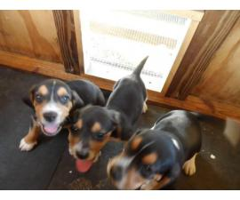 Three male Beagle puppies looking for a new home