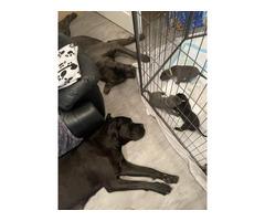 Beautiful Blue Cane Corso Pups!