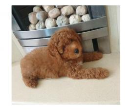 4 gorgeous poodle  puppies available