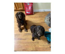 Full blooded Boykin puppies for sale