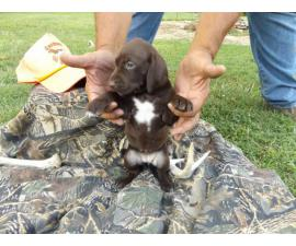 4 German Shorthaired Pointers for sale