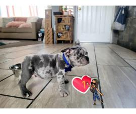 2 blue merle Frenchie puppies for sale