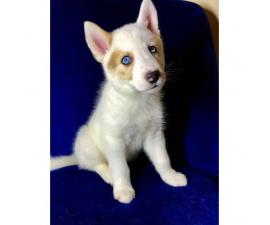 2 male left Siberian Husky Pups