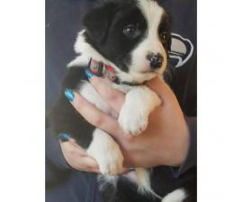 Registered border collie puppies - $900