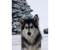 Male purebred Alaskan Malamute puppy
