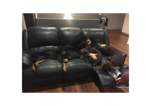 5 Doberman Puppies remaining for adoption