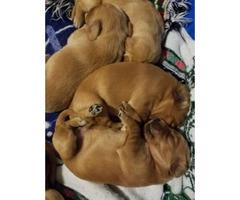 Beautiful litter of Golden Irish puppies $800