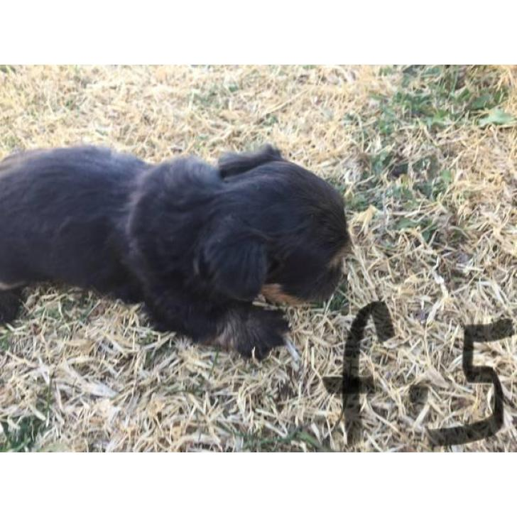 Designer shorkie puppies for sale in Lubbock , Texas
