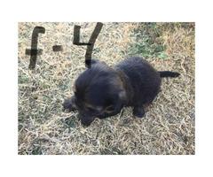 Designer shorkie puppies for sale