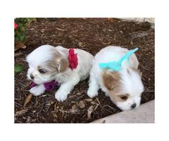 A fluffy adorable Malshi Puppy