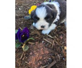 A fluffy adorable Malshi Puppy in Oklahoma City , Oklahoma