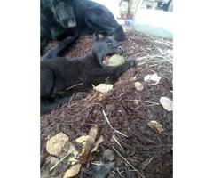 Beautiful pure bred Black German Shepard Puppies