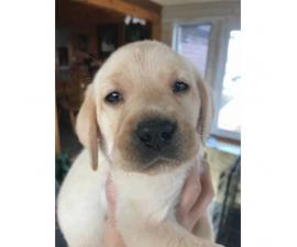 6 AKC registered Labrador male puppies @ $950