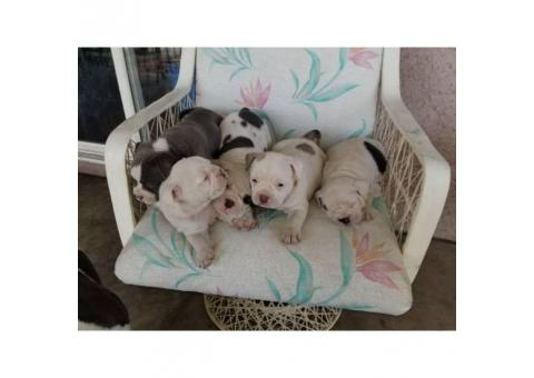 Exotic Bullies For Sale $1500
