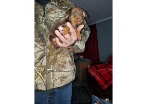 Akc Miniature pinscher puppies 60 days old