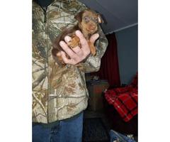 Akc Miniature pinscher puppies 60 days old