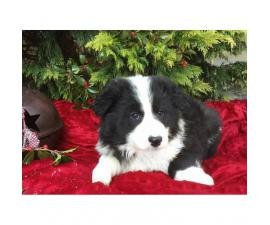 4 females and 1 male  attractive border collie puppies