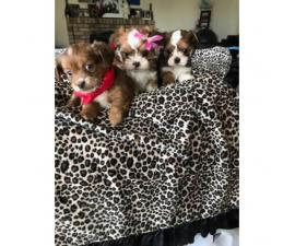 8 week old Adorable Malshi Puppies - $750