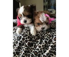 8 week old Adorable Malshi Puppies - $750