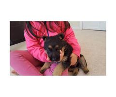3 German Shepherd puppies for sale