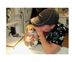 Shiba Inu Established Breeder $6000