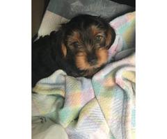 4-5 months old Yorkie puppy $900