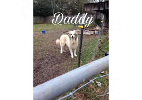 Purebred Great Pyrenees puppies ready now