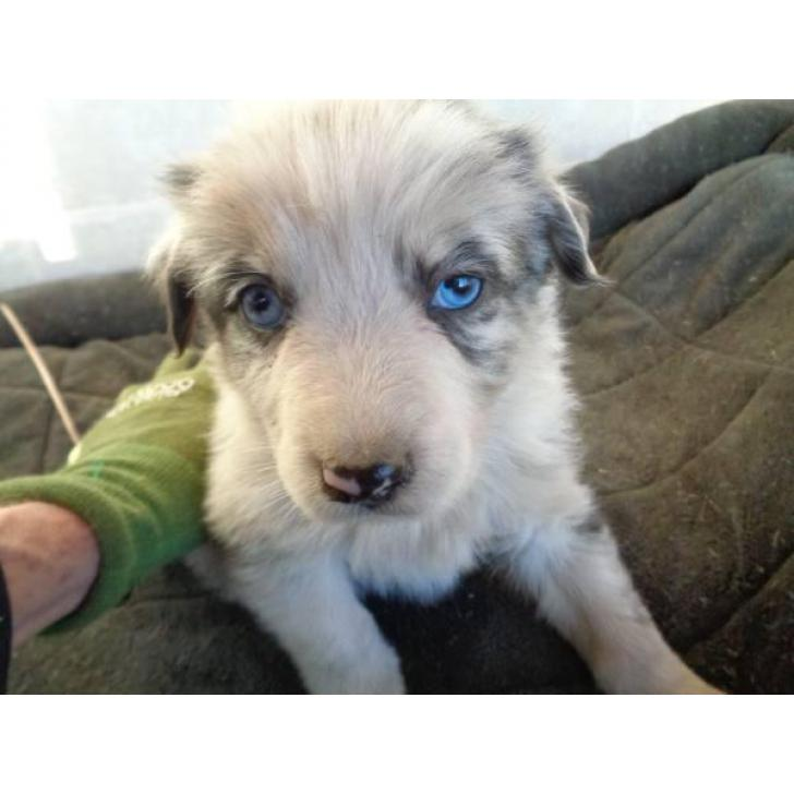 Puppies For Sale In Albuquerque >> REGISTERED Australian Shepherd Puppies in Albuquerque, New Mexico - Puppies for Sale Near Me