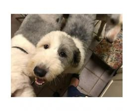 Old English Sheepdog puppies with health certificates, and UTD on all vaccines.
