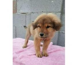 9 weeks old Chow chow Female puppy