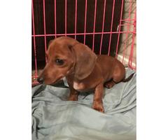 16 week old female mini dachshund