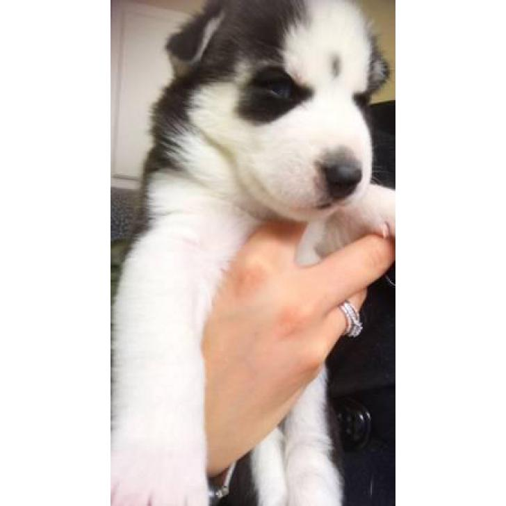 3 Full Blooded Black Grey White Siberian Husky Puppies In Fulton