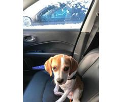 6 months old puggle puppy named Ryder