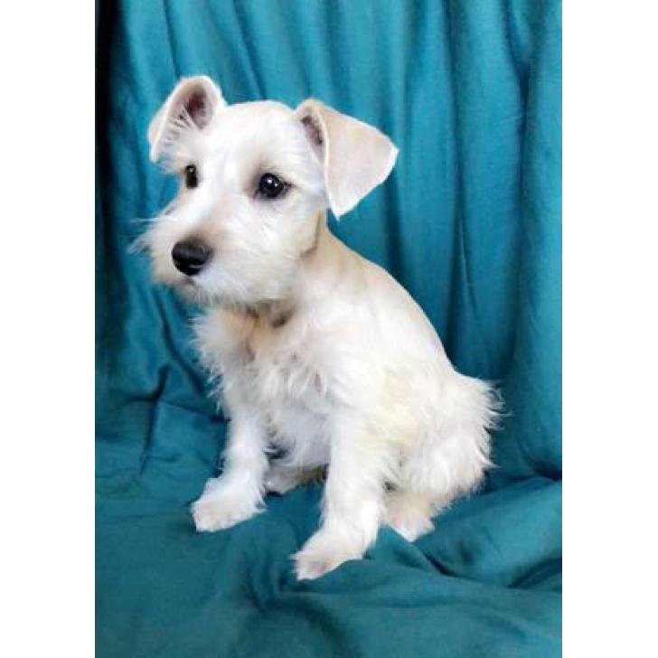 100 Purebred Platinum Silver Miniature Schnauzer Puppies In Los Angeles California Puppies